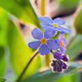 Forget me not close up Royalty Free Stock Photography