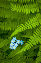 Forget-Me-Not-Ferns