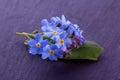 Forget me not flower blue myosotis Stock Photography
