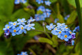Forget-me-not in flower close up