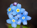Forget me not flower in the close up view Royalty Free Stock Photography