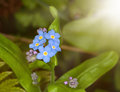 Forget me not flower in the close up view Royalty Free Stock Photo