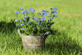 Forget me not flower in grey wooden pot on fresh green grass the garden Stock Photography