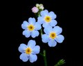 Forget me not flower macro closeup of a Stock Images