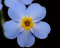 Forget me not flower macro closeup of a Royalty Free Stock Photos