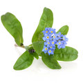 Forget me not flower over white background myosotis sylvatica Stock Photography