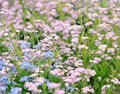 Forget me not flowers blue and pink tender blossoming in spring time Stock Photo