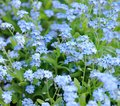 Forget me not flowers blue tender blossoming in spring time Royalty Free Stock Image
