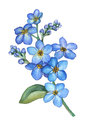 Forget-me-not flowers bouquet Royalty Free Stock Photo
