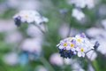 Forget me not flowers close up of beautiful blossoms shallow depth of field Royalty Free Stock Image