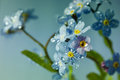 Forget-me-not flowers, floral background Royalty Free Stock Photo