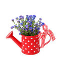 Forget-me-not flowers in red  watering-can Stock Photo