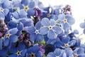 Forget-me-not (Myosotis sylvatica) Royalty Free Stock Photo