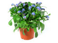 Forget-me-not seedling Royalty Free Stock Image