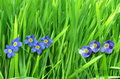Forget me not single flower on grass background Royalty Free Stock Photos