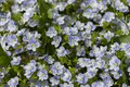 Forget-me-not wild flowers are gentle blue purple white background wallpaper. A group of forget-me-nots in nature, a lot of little