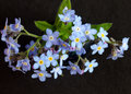Forget-Me-Nots Stock Photography