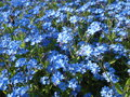 Forget me nots field patch in a park in spring Royalty Free Stock Photography
