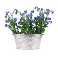 Forget-me-nots in metal pot Stock Photography