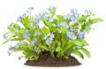Forget-me-nots  (myosotis)  flowers Stock Photos