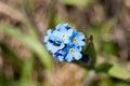 Forget me nots myosótis formicidae are any one of a number of species of flowering plants in the genus myosotis Stock Images