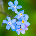 Forgetful a collection of small blue forget me not blooms Royalty Free Stock Photo
