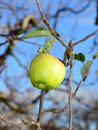 forgotten in a harvest Apple in Orchard,morning shot after the rain Royalty Free Stock Photo