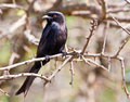 Fork tailed drongo Royalty Free Stock Photography