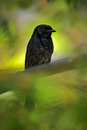 Fork-tailed Drongo, Dicrurus A...