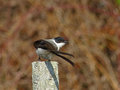 Fork tailed flycatcher about to fly on a post off Royalty Free Stock Photography