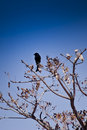 Forked-Tailed Drongo Royalty Free Stock Photo