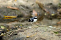 Forktail soutenu par schisteux Photo stock