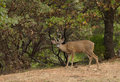 Forky small forked horned blacktail buck Royalty Free Stock Images