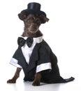 Formal dog Royalty Free Stock Photo