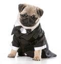 Formal dog pug wearing tuxedo isolated on white background Royalty Free Stock Photography