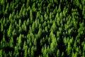 Forrest杉树 免版税库存图片
