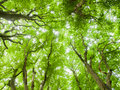 Forrest canopy with tree trunks and bright green summer foliage Royalty Free Stock Images