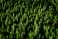 Forrest de árvores de pinho Imagem de Stock Royalty Free