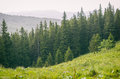 Forrest of green pine trees with rain in carpathian mountains