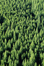 Forrest of Pine Trees Royalty Free Stock Photos