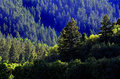 Forrest of pine trees green on mountainside with late afternoon sunlight Stock Photography