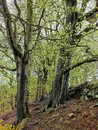 Forst trees in spring with new green leaves on a steep hillside Royalty Free Stock Photo
