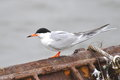 Forster s tern an adult forsters sterna foster in breeding plumage Royalty Free Stock Images