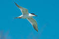 Forster's Tern Royalty Free Stock Photo