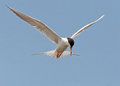 Forster s tern hovering in air on top of water Stock Photo