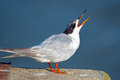 Forster s tern juvenile waiting to be fed Stock Images