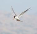 Forster's tern (Sterna forsteri) in flight Royalty Free Stock Photo