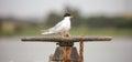 Forster's tern - Sterna forsteri Royalty Free Stock Photo