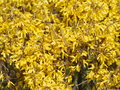 Forsythia blooming bush in the beginning of spring Stock Images