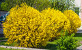 Forsythia bushes Royalty Free Stock Photo